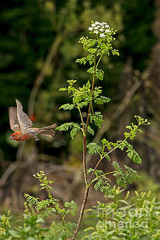 Flying Finch and Flower by Natural Focal Point Photography