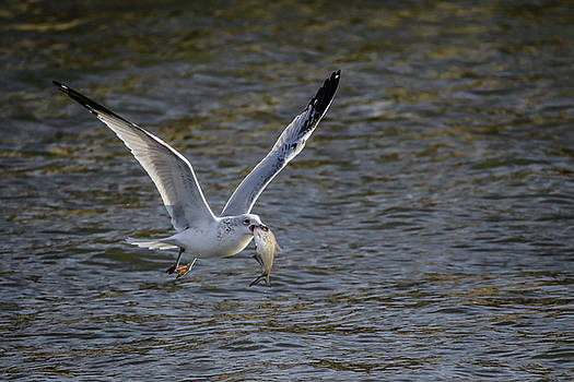 Flying Fish by Ray Congrove