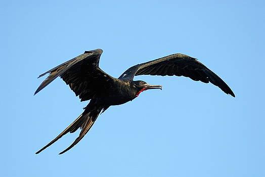 Sami Sarkis - Flying Great Frigate