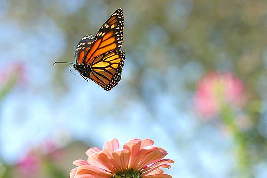 Flying Monarch by Steve Augustin