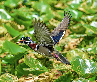 Flying Wood Duck by Jerry Cahill