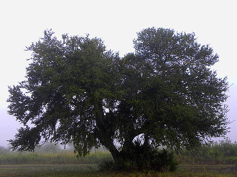 Foggy Oak Tree  by Chris Mercer