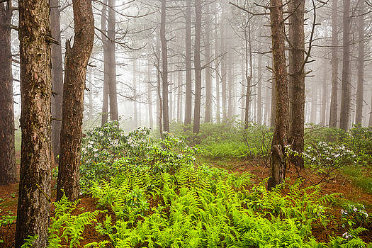 Foggy Woodland Scene - West Virginia Mountains with Ferns and Blooming Laurel by Bill Swindaman