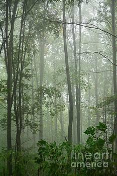 Foggy Woods by Debbie Green