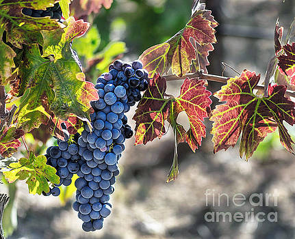 Foothill Vineyards by Mark Chandler