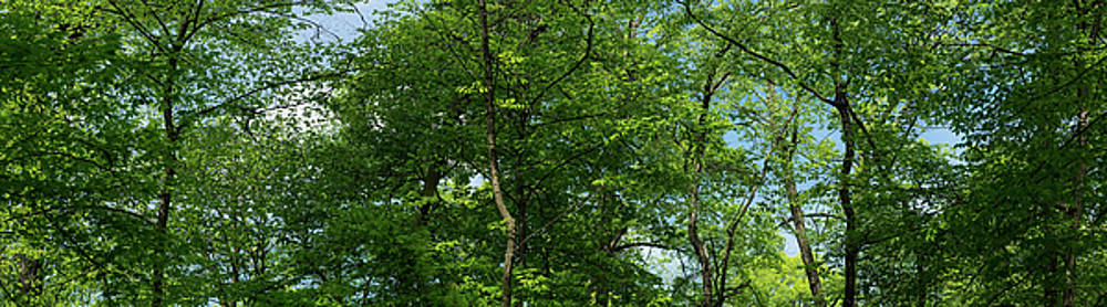 Forest Canopy by Steve Gadomski
