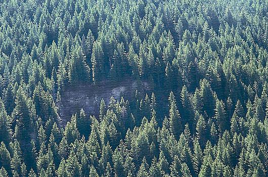 Steve Ohlsen - Forest Pine Abstract - Alpine Loop Utah