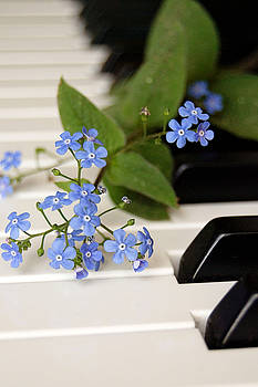 Forget Me Not Blossoms on Piano Keys by Di Kerpan