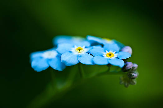 onyonet  photo studios - Forget-Me-Not Cluster