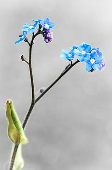 Forget-me-not by Jeremy Sage