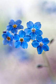 Jenny Rainbow - Forget-Me-Not. Vertical