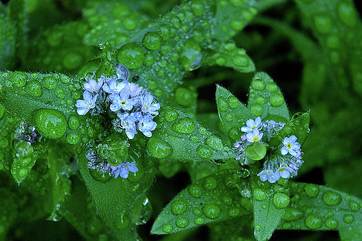 Forget-Me-Not Waterdrops by Bill Morgenstern
