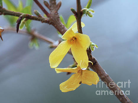 Forsythia On A Cool Spring Day by Dorothy Lee