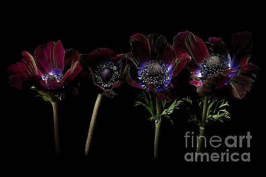 Four Anemones in a Row by Ann Garrett