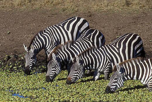 Sandra Bronstein - Four for Lunch - Zebras