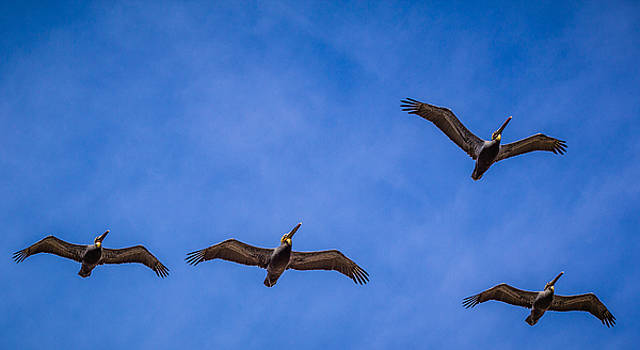 Four Pelicans by Randy Bayne