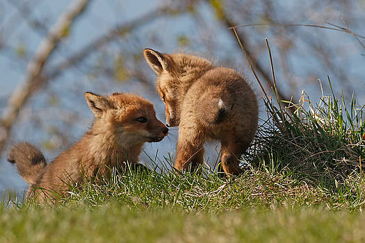 Fox Cubs by Jim Nelson