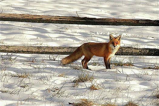 Fox in December by Chris Burke