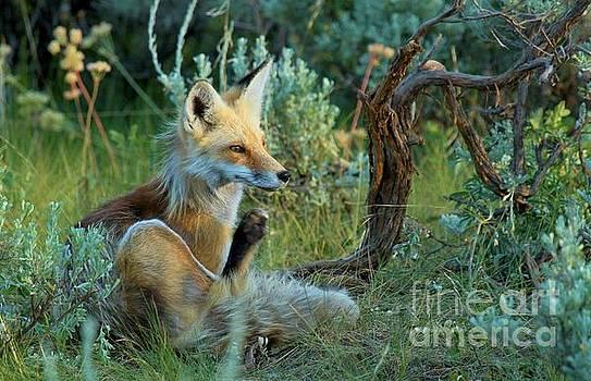 Adam Jewell - Fox In The Brush