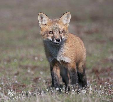 Fox kit by Elvira Butler