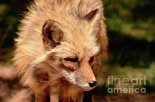 Fox on the Hunt by Debby Pueschel
