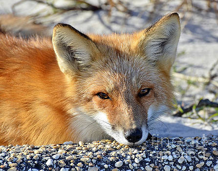 Fox posing for me by Sami Martin