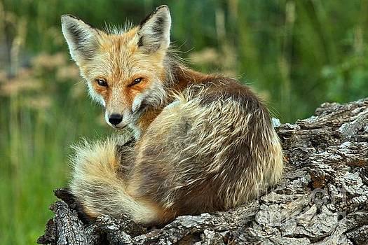 Adam Jewell - Foxy And Sleepy