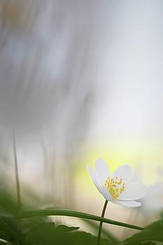 Fragility - Wood Anemone Wild Flower by Dirk Ercken