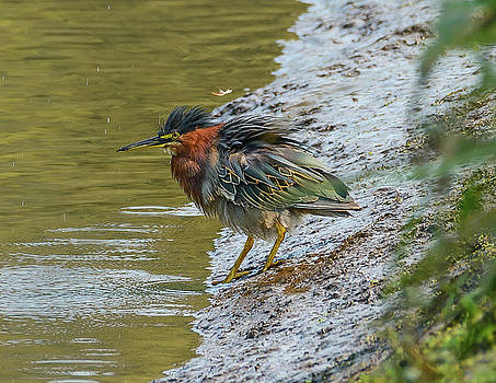Frenzied Green Heron by Jerry Cahill