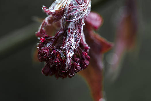 Fresh dew 1 by Francoise Dugourd-Caput