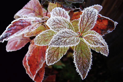 Frost Cluster by Betsy Zimmerli