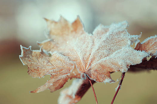 Frosty Maple Leaves by Jenny Rainbow