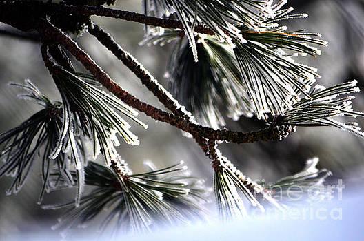 Susanne Van Hulst - Frosty pine tree - Winter in Switzerland