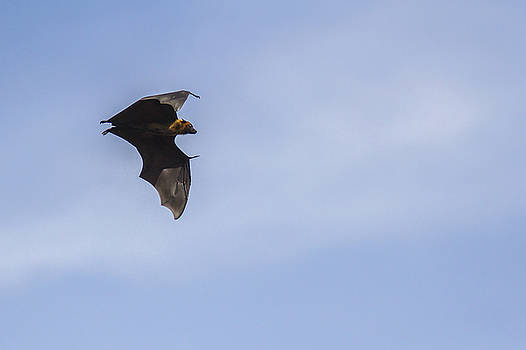 Ramabhadran Thirupattur - Fruit Bat