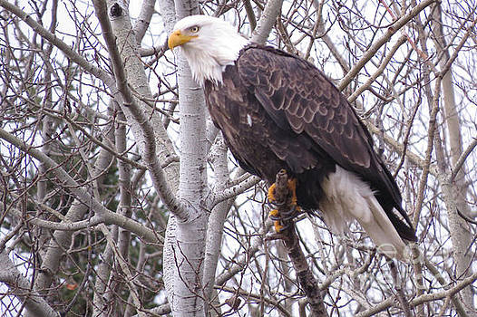 Full Bald Eagle by Mary Mikawoz