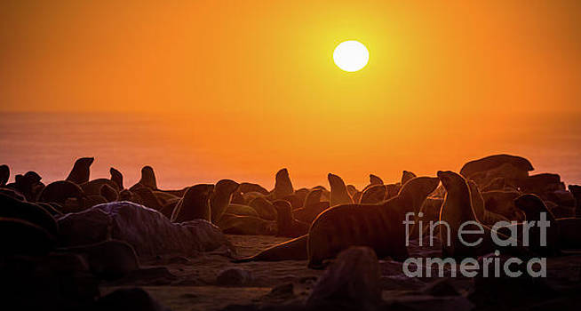Fur Seal Colony by Inge Johnsson