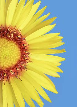 Gaillardia aristata   Blanketflower by Jim Hughes