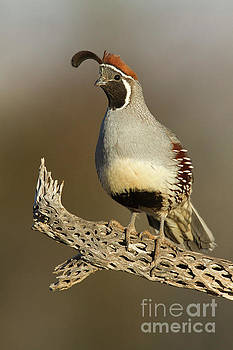 Gambel's Quail on cactus rib by Bryan Keil