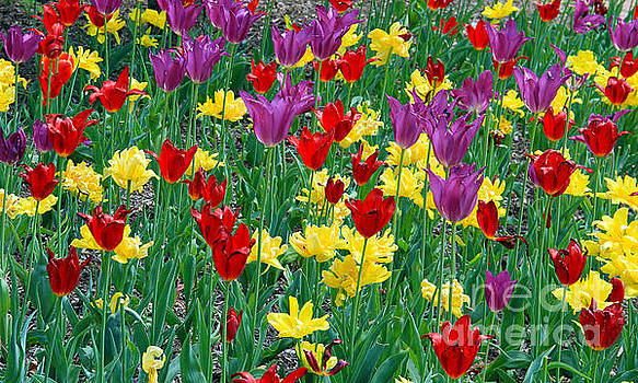 Garden of Tulips by Roger Becker