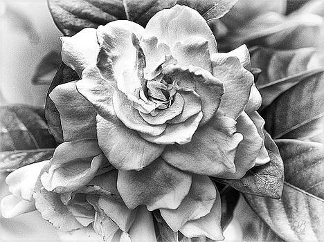 Gardenia Black and White by Barbara Middleton
