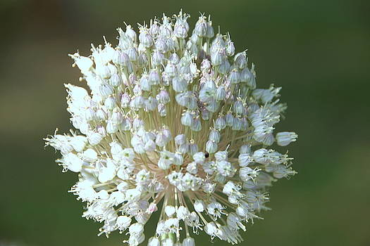 Garlic Flower by Danny Jones