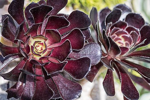Garnet Cactus by Jeff Abrahamson
