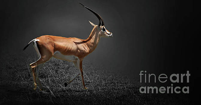 Gazelle by Charuhas Images
