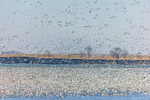 Geese Galore by Penny Meyers