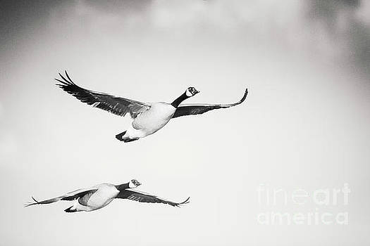 Geese in Flight by Michael McStamp