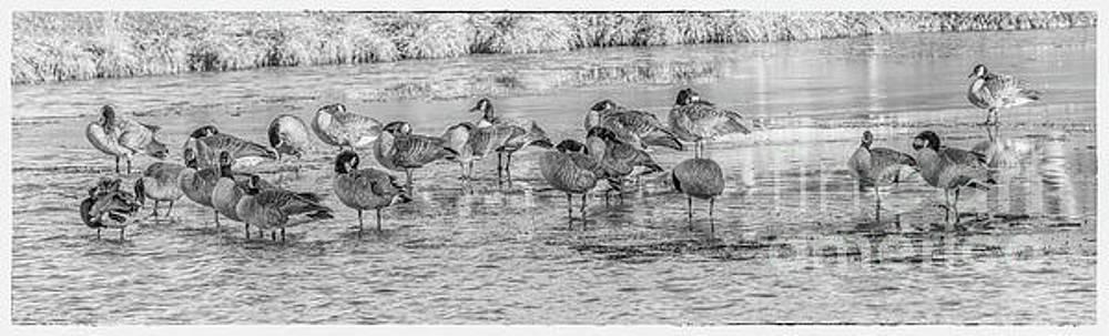 Geese on Frozen Lake by Randy Steele
