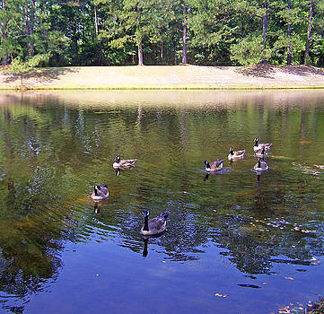 Patricia Taylor - Geese Swimming in Clear Pond