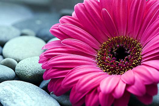 Gerber Daisy in Pebbles by Helen Stapleton