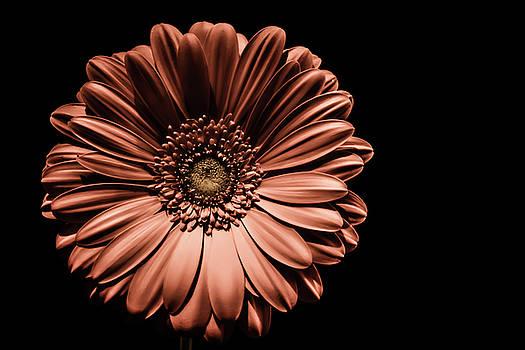 Gerbera Daisy by Karl Anderson