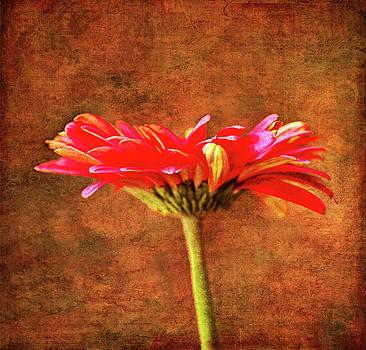 Gerbera Daisy In Fall by Sandi OReilly